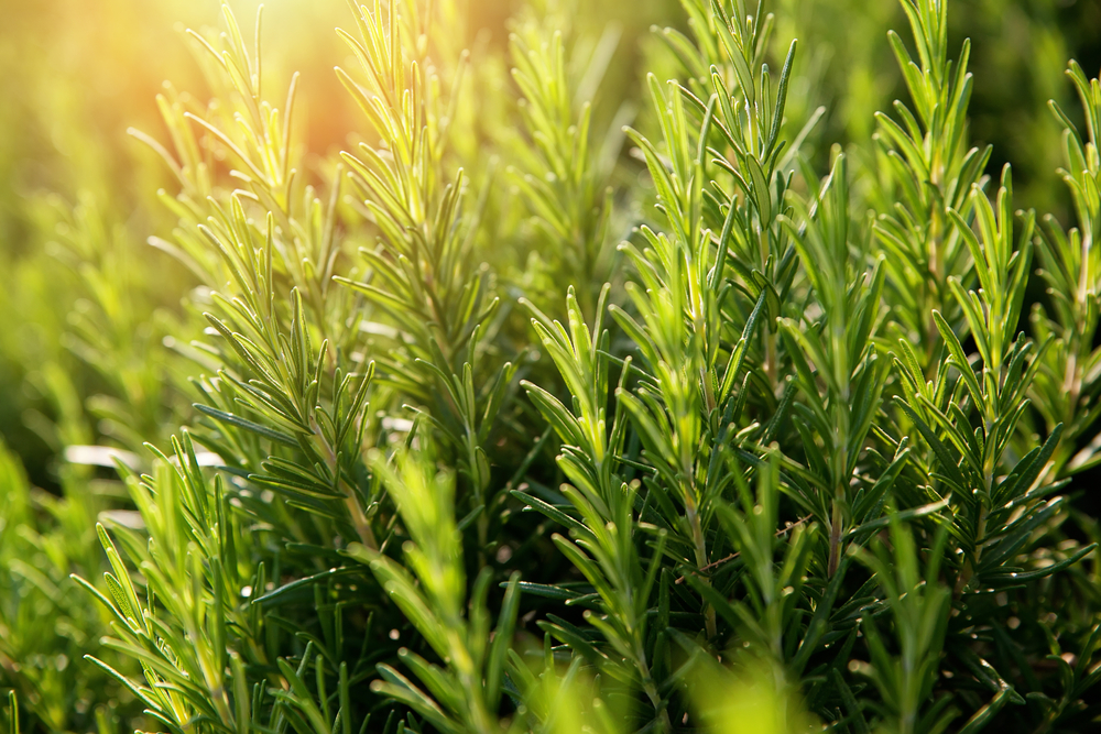 Una pianta di rosmarino